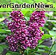 Syringa vulgaris 'Katherine Havemeyer' (jorgovan): havemeyer