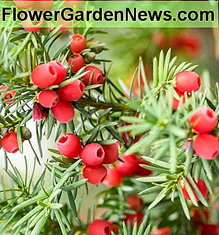 Taxus baccata 'Standishii', Bahasa Inggeris Yew 'Standishii', Common Yew 'Standishii', Evergreen Shrub, Evergreen Tree