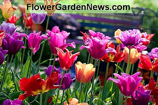 Tulipa 'Dordogne', Tulip 'Dordogne', Single Late Tulip 'Dordogne', Single Late Tulips, Bulbs Spring, Spring Flowers, Pink Tulip, Orange Tulip, Single Late Tulip, French Tulip