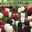 Tulipa 'Dordogne' (Single Late Tulip): dordogne