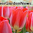 Tulipa 'Flaming Parrot' (Parrot Tulip): flaming