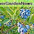 Vaccinium corymbosum 'Patriot' (Highbush Blueberry): patriot