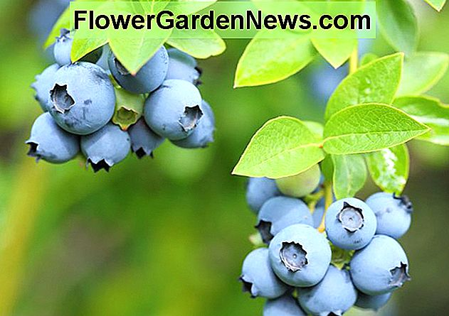 Vaccinium corymbosum Patriot, Highbush Blueberry 'Patriot', Blueberry 'Patriot', Berries, Blue Berries