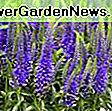 Veronica 'Sunny Border Blue' (Spike Speedwell): Blue