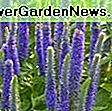 Veronica 'Sunny Border Blue' (Spike Speedwell): Veronica