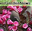 Weigela florida 'Sonic Bloom Pearl': bloom