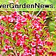 Weigela florida 'Sonic Bloom Pink': weigela