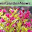 Weigela florida 'Sonic Bloom Pink': bloom