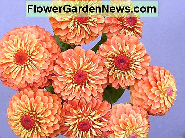 Zinnia 'Queeny Lime Orange', Zinnia Elegans 'Queeny Lime Orange', Queeny Lime Orange Zinnia, Zinnia arancione, Fiori d'arancio