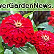 Zinnia elegans 'Queeny Lime Orange': lime