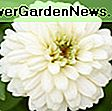 Zinnia elegans 'Queeny Lime Orange': zinnia